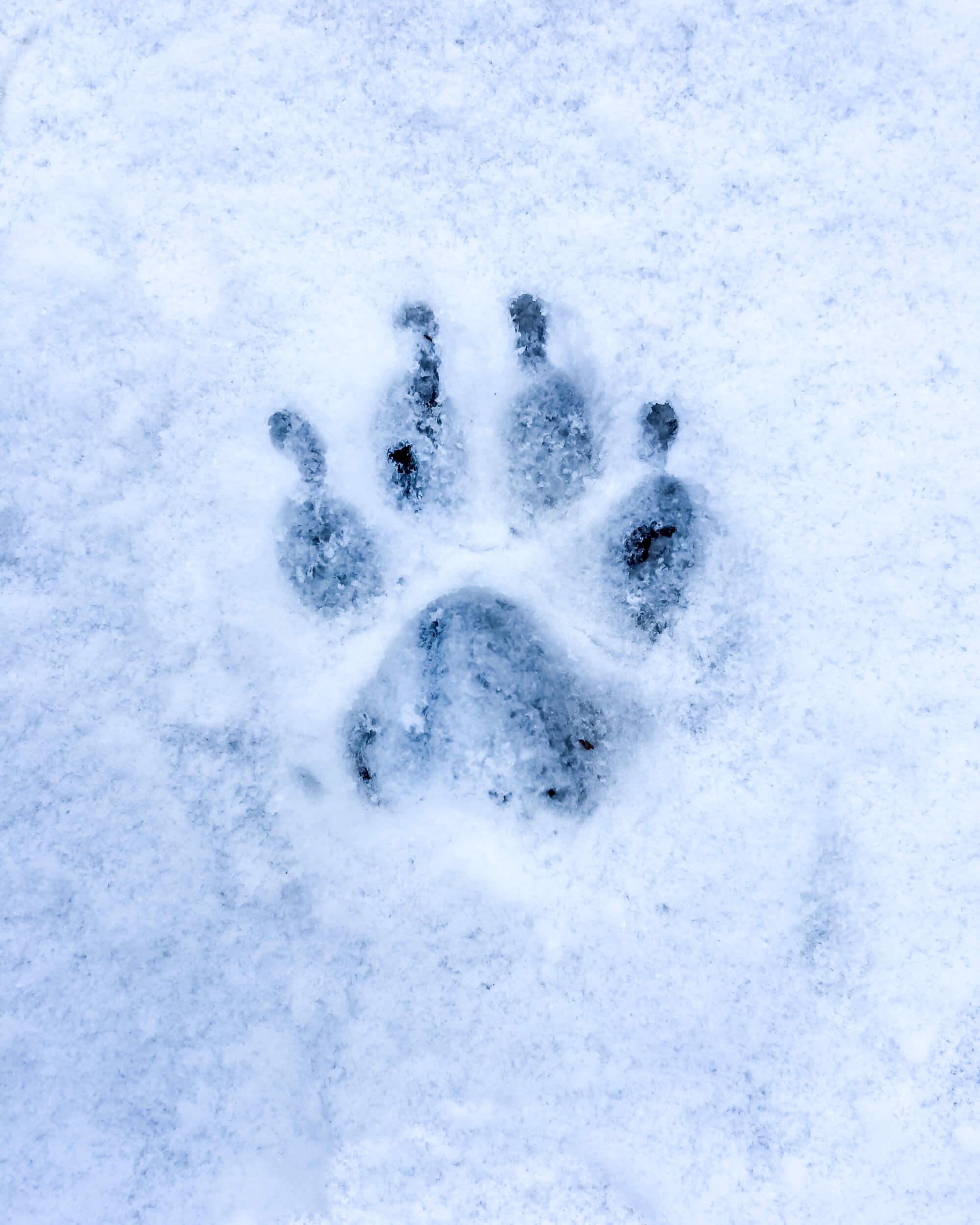 wolf-footprint-snow